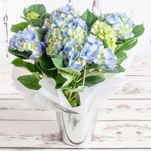 Hydrangea Plant - Blue