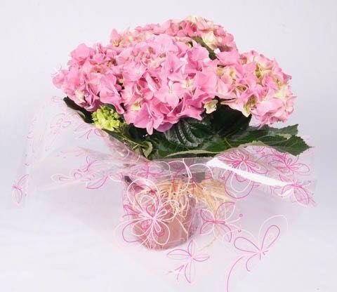 Hydrangea Plant - Pink